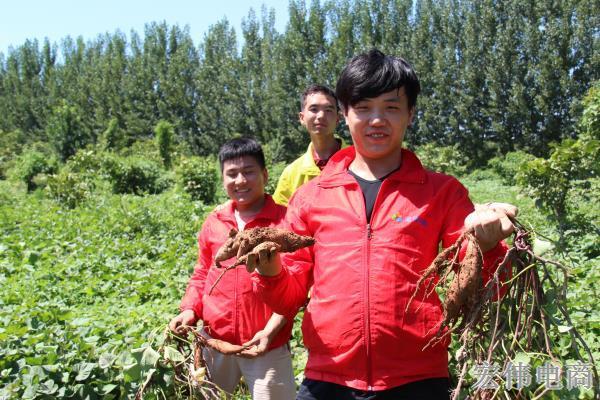 宏伟电商团队成员在红薯基地收割红薯 (3).JPG