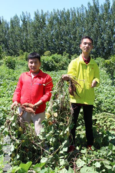 宏伟电商团队成员在红薯基地收割红薯 (12).JPG