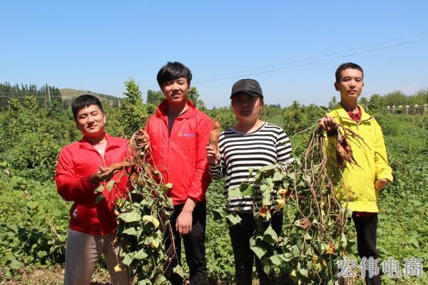 宏伟电商团队成员在红薯基地收割红薯 (8).JPG