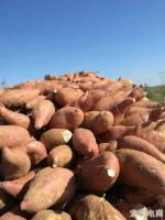 孟氏伟业万亩红薯基地开始收获了