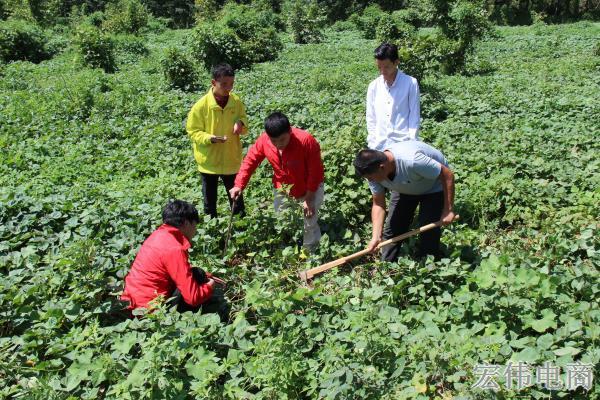宏伟电商团队成员在红薯基地收割红薯 (1).JPG
