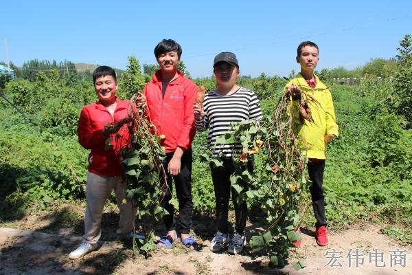 宏伟电商团队成员在红薯基地收割红薯 (6).JPG