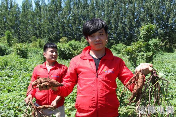 宏伟电商团队成员在红薯基地收割红薯 (2).JPG
