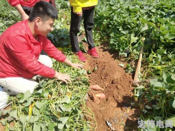 宏伟电商团队成员在红薯基地收割红薯 (9).jpg