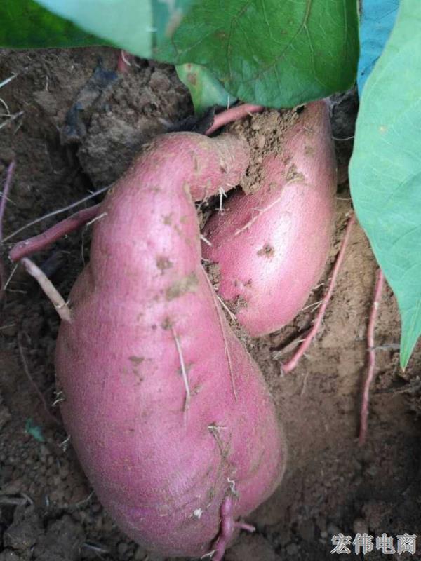 教你怎么挑红薯 好吃的地瓜芋头 (2).jpg