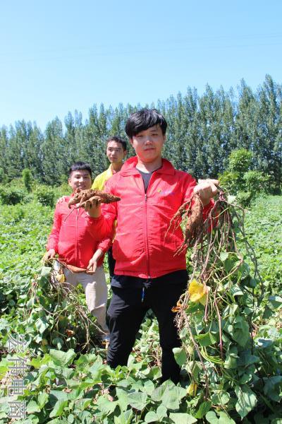 宏伟电商团队成员在红薯基地收割红薯 (11).JPG