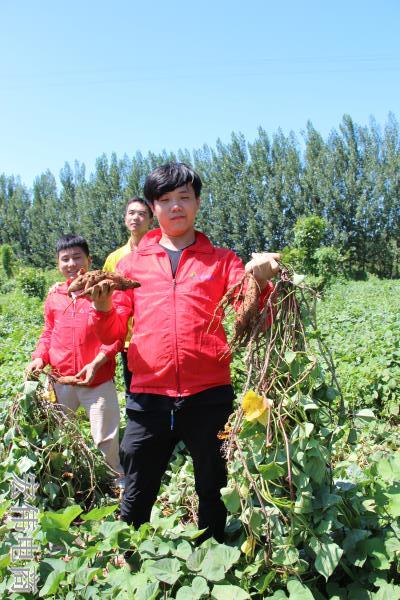 宏伟电商团队成员在红薯基地收割红薯 (10).JPG