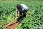 刨芋头 鲜地瓜 山地沙土地红薯可蒸煮面甜