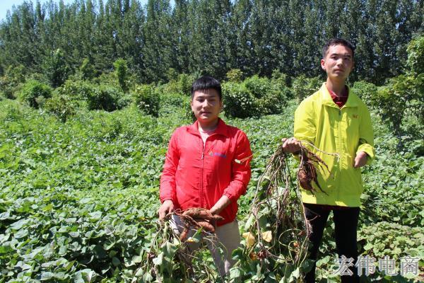 宏伟电商团队成员在红薯基地收割红薯 (4).JPG