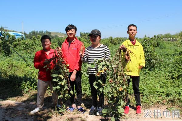 宏伟电商团队成员在红薯基地收割红薯 (5).JPG