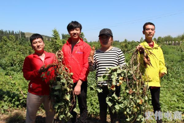 宏伟电商团队成员在红薯基地收割红薯 (7).JPG