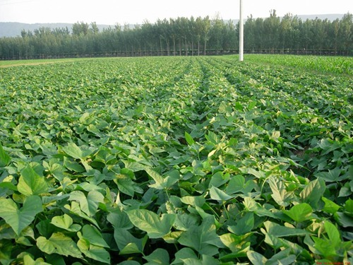 红薯基地 种植基地 孟氏伟业万亩山地沙土地面纱地瓜